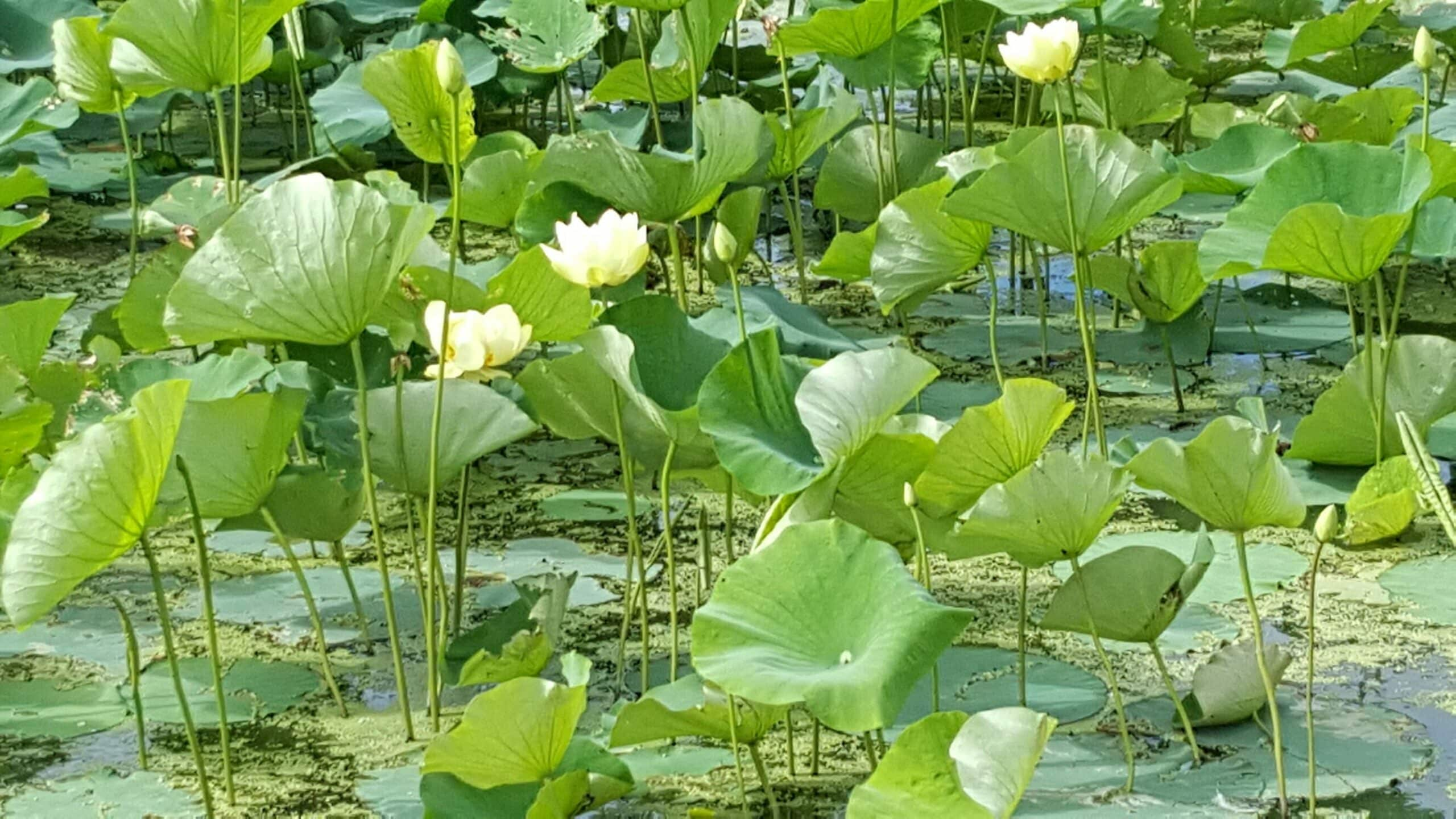 lily pond close view