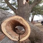 Parts of the big tree where hollow.