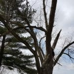 Top of maple tree showing the missing section.